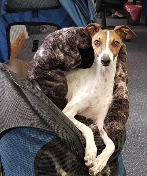 Larry the greyhound